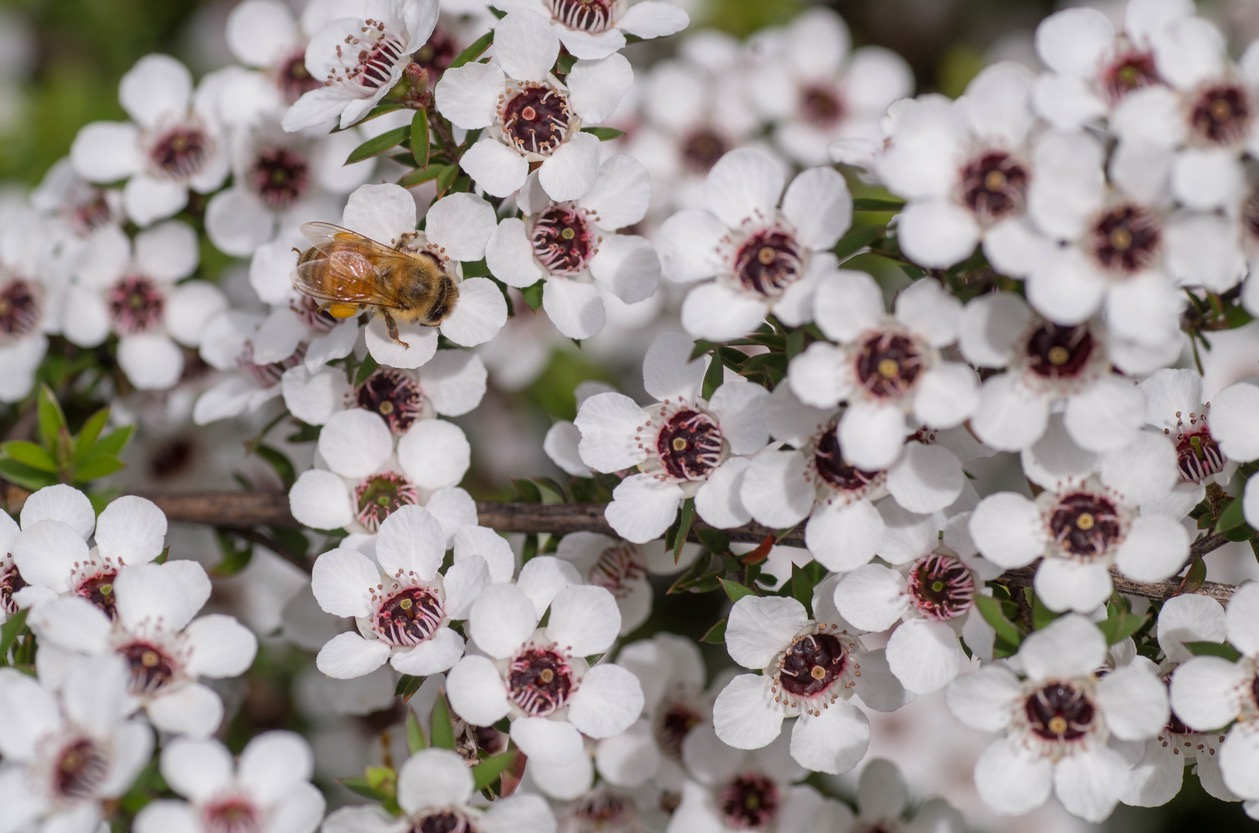 Manuka flowers and a bee
