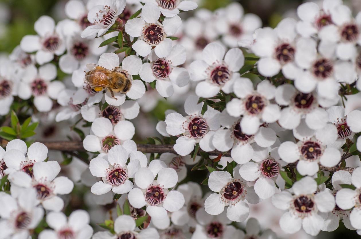 Manuka flowers and a bee